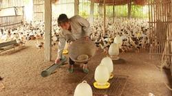 Bỏ túi mỗi năm trăm triệu từ nuôi gà lai Đông Tảo