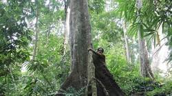 """Ly kỳ chuyện """"xà thần"""" canh giữ rừng lim trị giá hàng trăm tỷ đồng"""