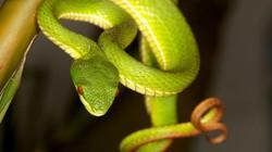 Vì sao rắn lục đuôi đỏ liên tục tấn công người dân ở miền Trung?