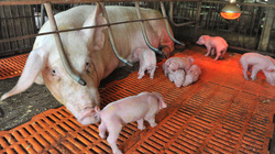 Chăn nuôi nhập từ con giống đến... cái máng lợn: Đành lòng quay lưng với hàng nội