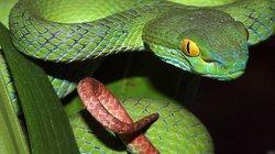 Nọc rắn lục đuôi đỏ chứa những chất kịch độc nào?