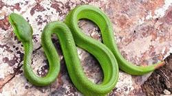 Thực hư công năng đuổi rắn độc của củ nén ở miền Trung