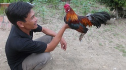 Nuôi gà rừng lai gà tre thoát nghèo