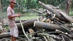 Vỡ mộng với cây tạo trầm: Khánh kiệt cùng cây dó bầu