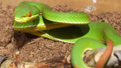 Đổ xô mua hành tăm phòng tránh rắn lục đuôi đỏ