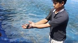 Đưa cá tầm lên huyện miền núi Sơn Tây