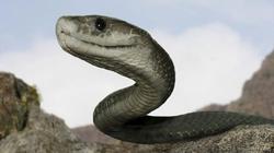 Thực hư về loài rắn khổng lồ ăn thịt người ở Indonesia