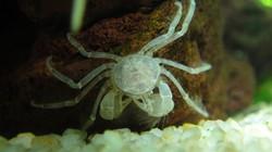 Cua nhện 50.000 đồng/con, thú cưng mới của dân mê thủy sinh