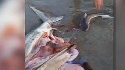 Video: Mổ bụng cá mẹ, cứu 3 chú cá mập con