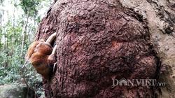 """Chùm ảnh """"cây dị thường"""" ở rừng Lôi Âm"""