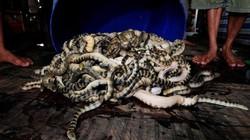 Cảnh săn hàng tấn rắn kịch độc làm... mồi nhậu ở ĐNÁ