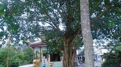 Xôn xao cây bồ đề ở Vĩnh Long, dù nhiều tiền cũng không thể mua