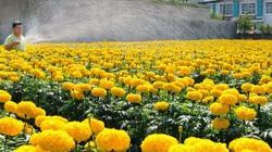 """Nhiều giống hoa mới phục vụ Tết chuẩn bị """"bung hàng"""""""