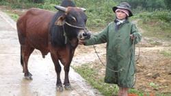 THỪA THIÊN - HUẾ:  Cấp bò cái lai sind cho đồng bào A Lưới