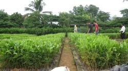 Thâm canh keo lai, keo tai tượng giống mới: Nâng cao giá trị kinh tế rừng trồng