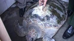 Ngư dân Huế bắt được rùa biển có gắn thiết bị định vị