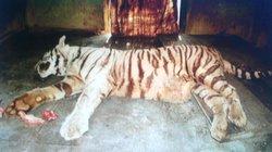 Ấn Độ: Hổ trắng thảm bại khi tử chiến với rắn độc