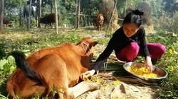 Bùng phát dịch lở mồm long móng tại nhiều tỉnh: Dịch lây lan từ bò dự án