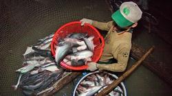 An Giang: Liên kết nuôi cá tra, nông dân lãi khá