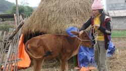 Bùng phát dịch lở mồm long móng tại nhiều tỉnh: Đề nghị tạm dừng cấp bò giống