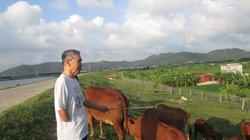 Tổ nông dân nuôi bò ở Thống Hạ