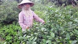Lá chanh ăn gà luộc đi Tây, nông dân Việt thu triệu đô