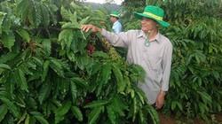 Bón phân hợp lý, người trồng cà phê tăng thu nhập