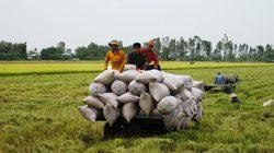 Lợi lớn từ mô hình trồng lúa mới