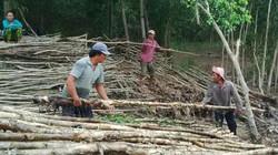 Yên tâm gắn bó với rừng tràm