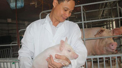 """Đưa công nghệ """"khủng"""" vào trang trại nuôi lợn sạch"""