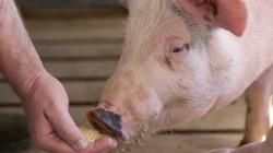 Vỗ béo, tạo nạc cho vật nuôi bằng... chất cấm trước khi giết mổ