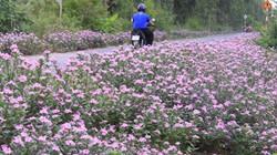 Con đường rợp sắc tím hoa dừa cạn trên Cù Lao Dung