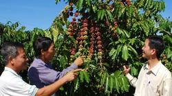 Lâm Đồng: Sẽ có từ 50 - 60% diện tích cà phê được chứng nhận quốc tế