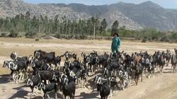 """Hỗ trợ nông dân... trồng cỏ trên """"chảo lửa"""" Phước Ninh"""