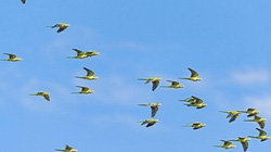 Giải mã lý do loài chim không đâm vào nhau khi bay