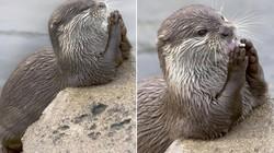 Ngộ nghĩnh rái cá cầu nguyện trước khi ăn