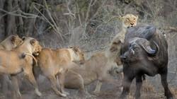 """""""Vén màn"""" chiến thuật săn mồi của sư tử"""