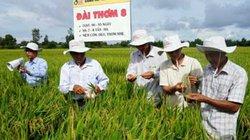 Đài thơm 8 - giống lúa đa chức năng: năng suất cao, kháng sâu bệnh, chịu hạn tốt