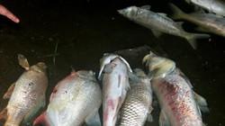 Lại hàng nghìn con cá chết nổi trên hồ Linh Đàm Hà  Nội