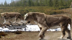 Giải mã sự diệt vong của loài sư tử lớn nhất thế giới