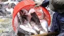 Nhiều tín dụng ưu đãi cho cá tra
