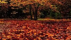 Lý giải nguyên nhân lá cây thường rụng vào mùa thu