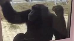 Tinh tinh tự lau chuồng hàng ngày giúp nhân viên sở thú