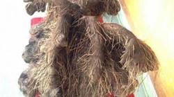 Kỳ lạ củ khoai khổng lồ 23 kg, có hình thù kỳ dị ở Huế