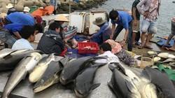 """Quảng Ngãi: Cần nhiều sự giúp sức hơn để """"giải cứu"""" cá bớp"""