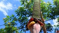 Buồng chuối hơn trăm nải dài 2 mét vẫn tiếp tục trổ hoa, ra quả