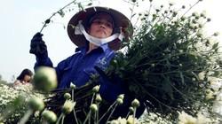 Ảnh: Cúc họa mi được mùa, nông dân Hà Nội thu cả trăm triệu