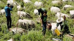 Lệnh cấm đưa ong ngoại vào địa bàn của Hà Giang là trái luật