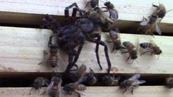 Nhện khổng lồ mạo hiểm đi săn ong gặp kết cục bất ngờ