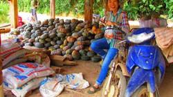 """Dùng phân Lâm Thao """"trị"""" đất dốc, nông dân Sơn La lợi lớn"""